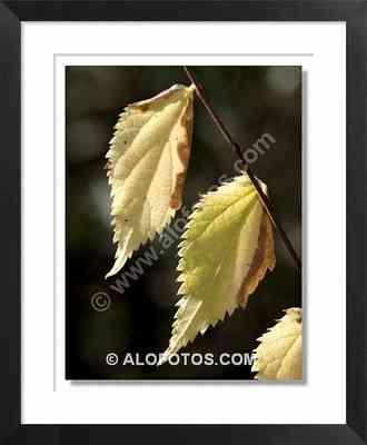 hojas olmo, ulmus minor