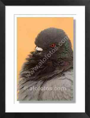 cabeza paloma