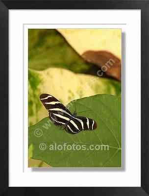 heliconius charitonius, mariposa