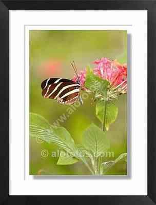 mariposa tropical - insectos de Costa Rica