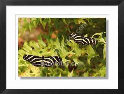 mariposas, heliconius charitonius - insectos de Costa Rica