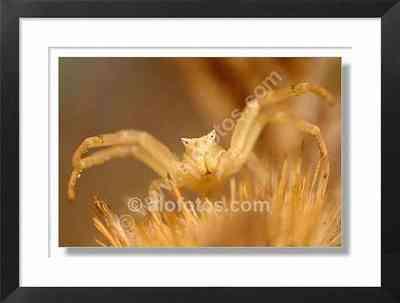 aracnido, thomisus onustus - arana blanca
