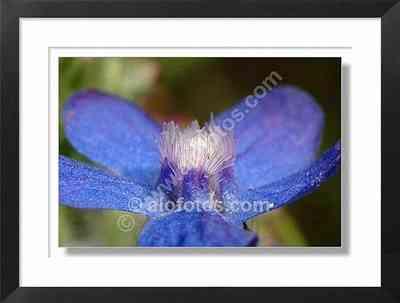flor azul, anchusa azurea