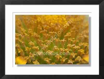 flores, crisantemo, chysanthemum coronarium