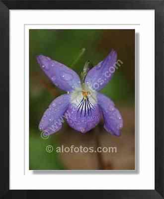 Viola odorata, flores violetas
