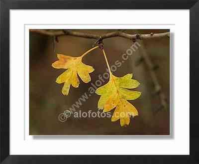 hojas, crataegus oxycantha