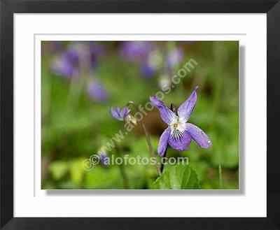 flores silvestres, Viola odorata