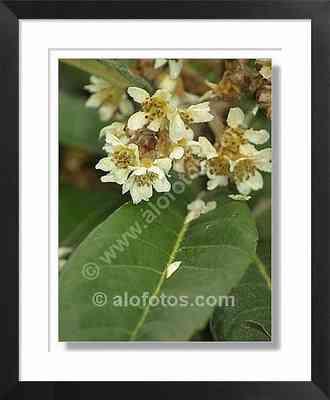 flores blancas, nispero - arbol ornamental