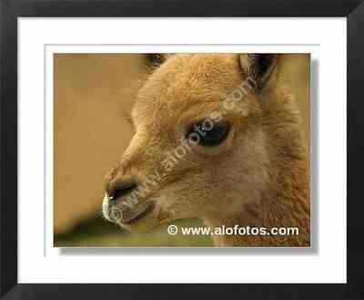 mamiferos, vicuña