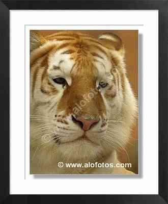 tigre, cabeza