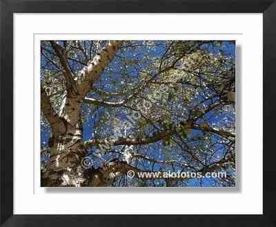 ramas, alamo blanco
