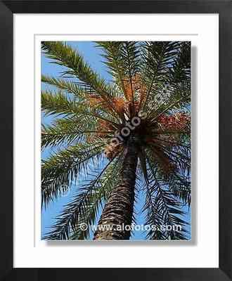 palmera datileras