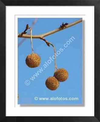 Platanus hybrida, árbol