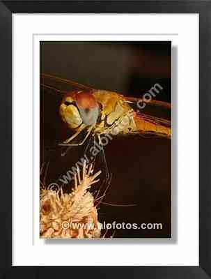 insectos, libelula