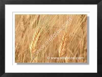 campo cultivo, trigo - campos de cultivo