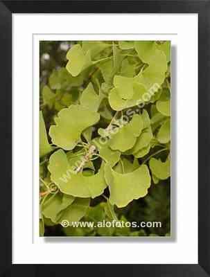 plantas medicinales, fotos del gingko biloba