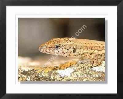 lagartijas, reptiles