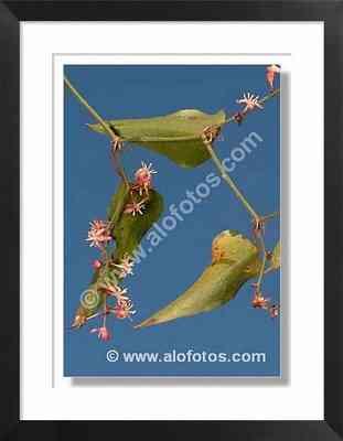planta trepadora, zarzaparrilla