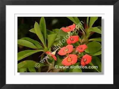 espinas de Cristo, Euphorbia milli