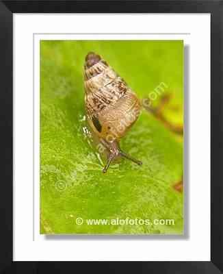 invertebrados, caracol