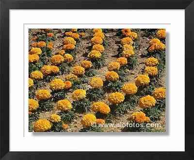 flores naranjas - calendulas