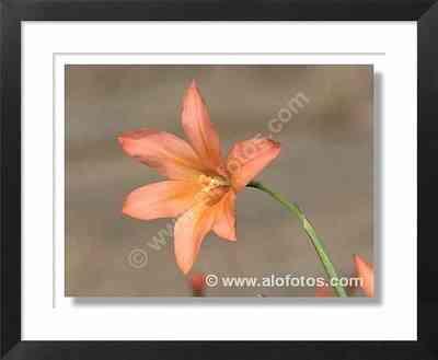 Homeria collina, flor
