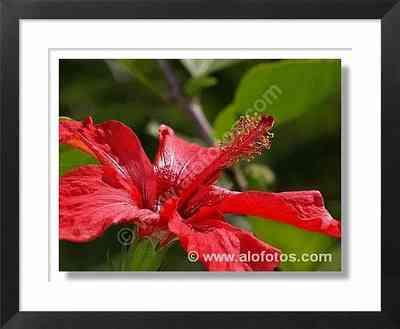 flor roja, hibisco