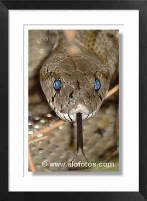 serpiente, culebra de escalera - lengua bifida