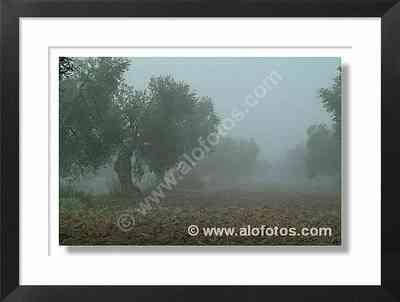 Andalucía, olivar - campos de cultivo