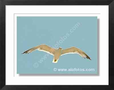 aves, gaviota - gaviotas