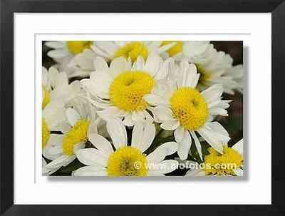 margaritas, flores