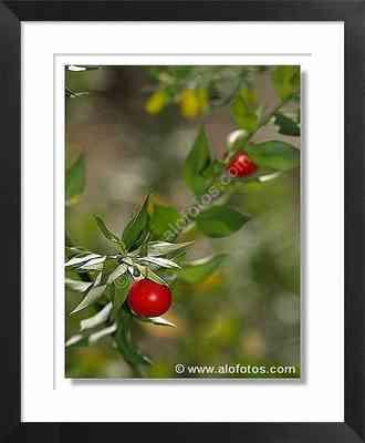 frutos de plantas silvestres, Ruscus aculeatus