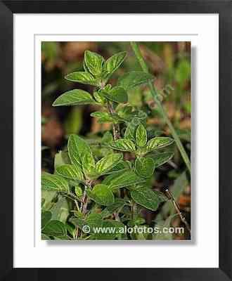 plantas medicinales, orégano