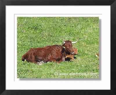animales, vacas - animales de la granja