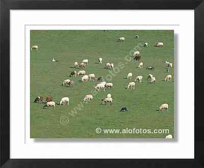 animales, ovejas - animales de la granja