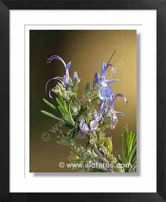 plantas aromáticas, romero