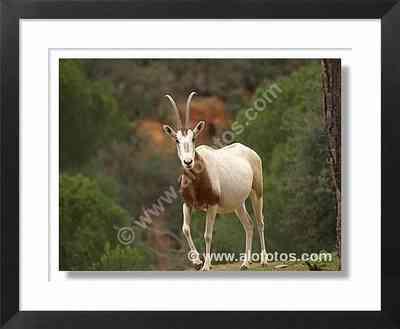 animales, oryx