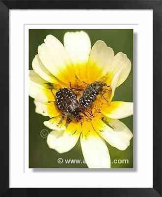 insectos: escarabajos sobre una flor de crisantemo