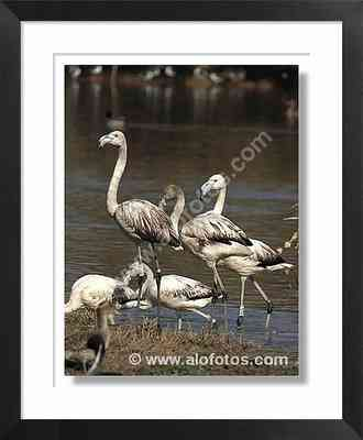 aves, flamencos - aves zancudas