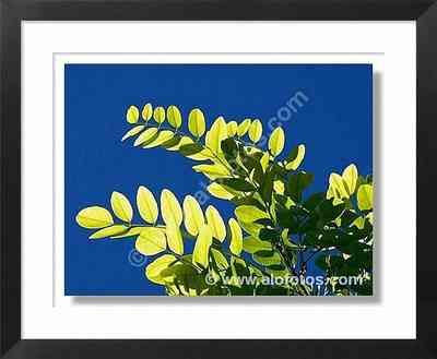 hojas compuestas a contraluz de Tipuana