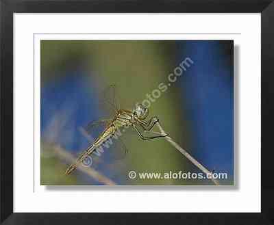 insecto, libélula