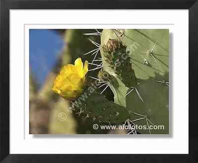 flor amarilla, chumbera