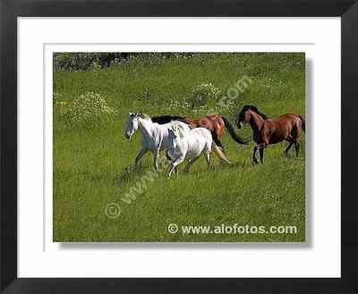 caballos, prado