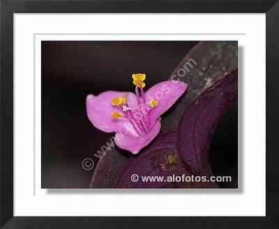 flor ornamental, flor violeta