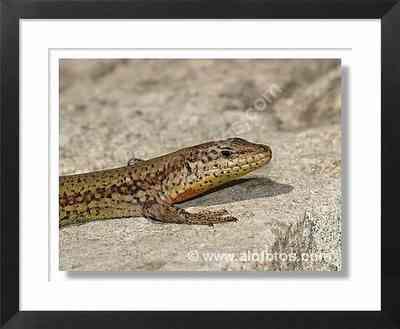 reptiles, animales, lagartijas