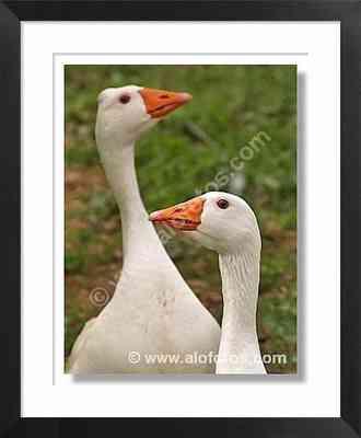 aves, animales de la granja, gansos - animales de la granja