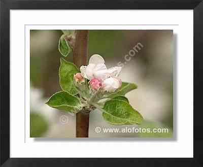 manzano, flor blanca