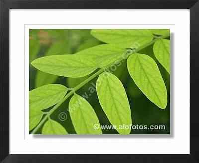 hojas compuestas, Falsa acacia