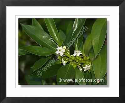 árbol, flores blancas
