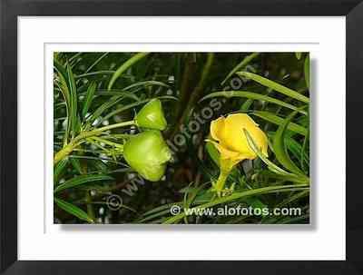 flor amarilla, thevetia peruviana